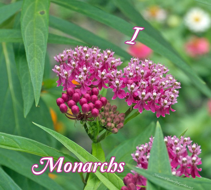If you love monarchs, please join me in planting more milkweed to support their struggling population- 25+ Milkweed Ideas for your Garden
