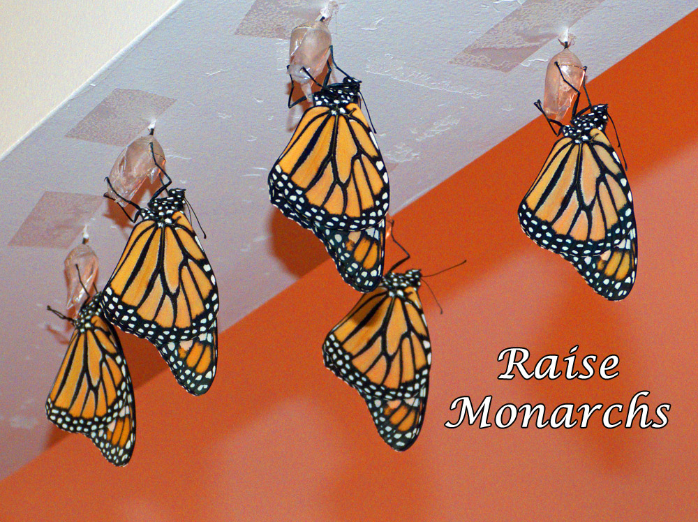 Support Monarchs by  Learning How to Raise Healthy Monarch Butterflies