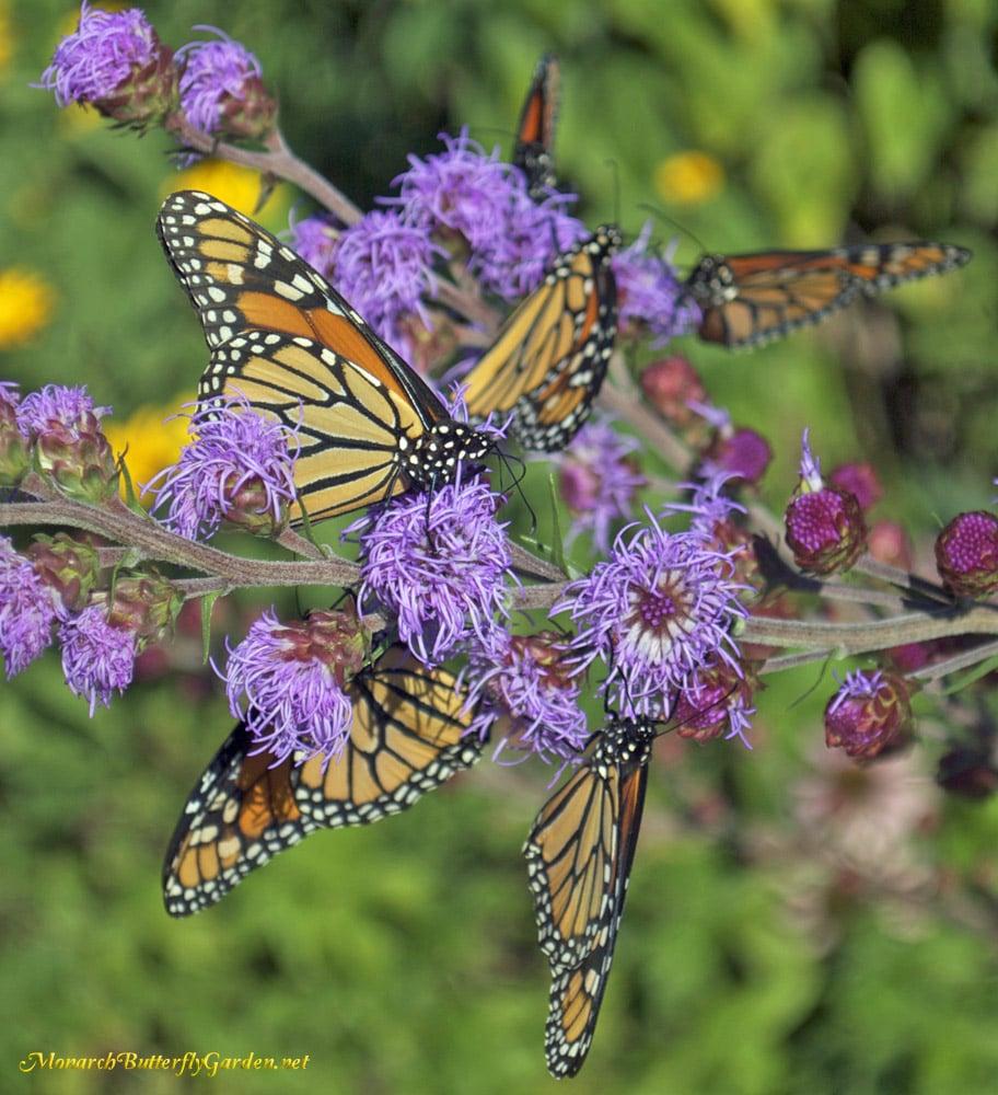 Monarch Butterfly Garden Butterfly Garden Ideas Raising