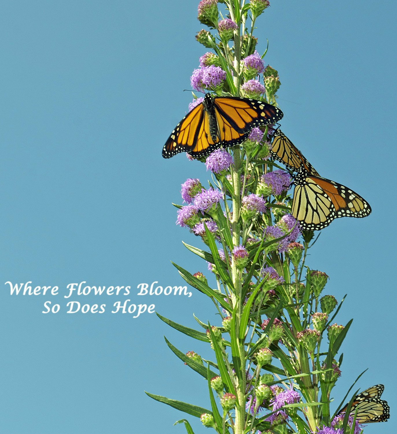 Attract Magnificent Monarchs to your Butterfly Garden with Irresistible Meadow Blazingstar