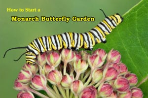 How to Start a Monarch Butterfly Garden that Brings Home the Butterflies…and Caterpillars