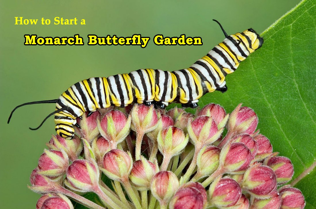 How to Start a Monarch erfly Garden at Home Erfly Small Garden Design Id on small atrium design, small gift store design, small courtyard gardens, small treatment room design, small cottage interior design, small flower gardens, small yard design, landscape design, small gazebo design, small backyard with beach entry pool, living room design, simple small house design, small private gardens, small vertical gardening, small wall design ideas, small space gardening, small fall gardens, small wooden gate design, small animal shelter design, small bbq area design,
