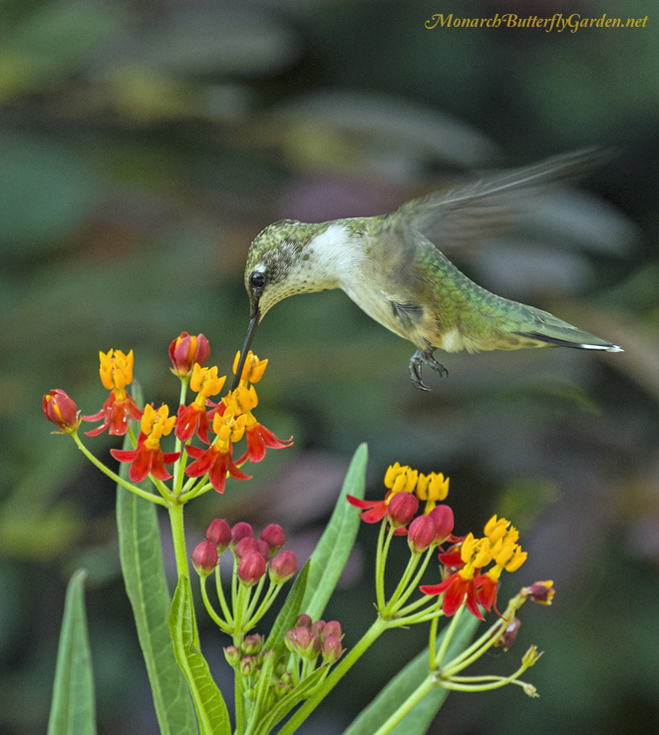 A hummingbird enjoys the sweet taste of tropical milkweed