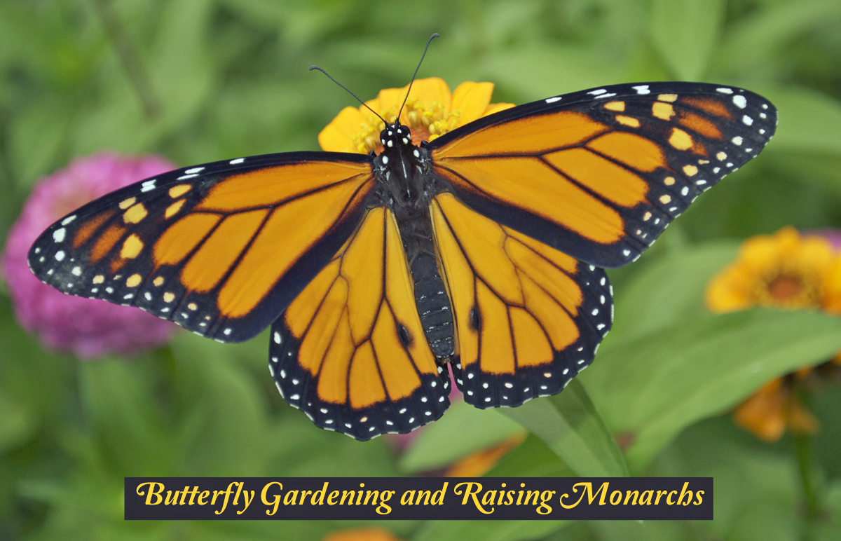 How to Attract and Support More Pollinators through the Popular Pastimes of Butterfly Gardening and Raising Monarch Butterflies.
