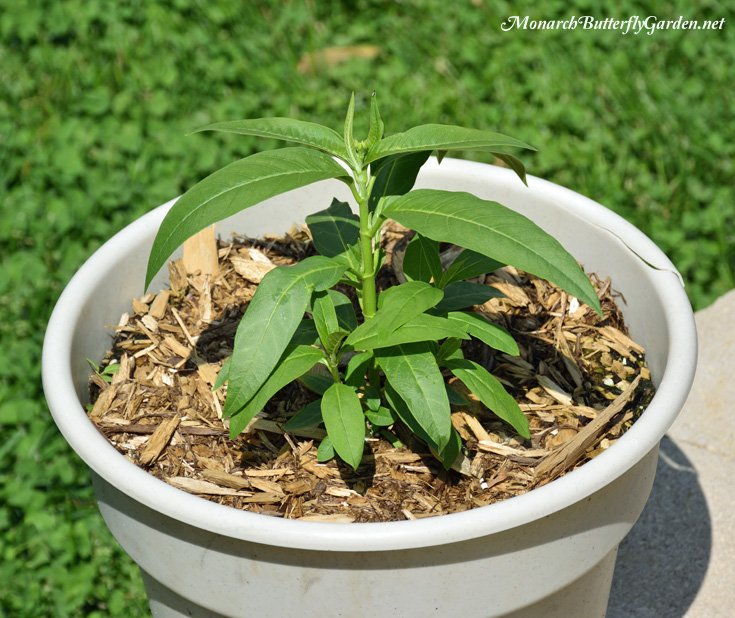 Grow Milkweed in Containers- Tropical milkweed thrives in containers and blooms continuously from summer through first frost. It's a popular host plant for monarch caterpillars and an inportant nectar sources for the monarch migration.