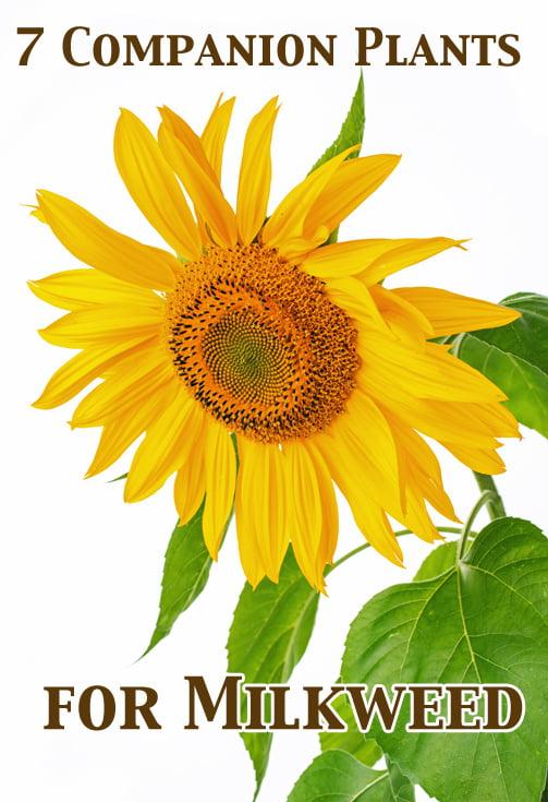7 Companion Plants for Milkweed