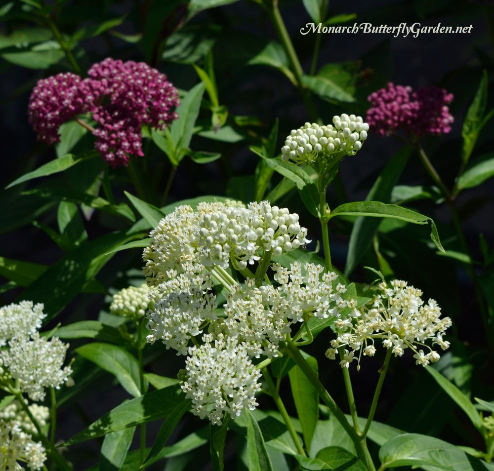 'Ice Ballet' Swamp Milkweed makes a stunning contrast paired with the traditional Pink-flowered variety- Milkweed Companion Plant Ideas for the Butterfly Garden