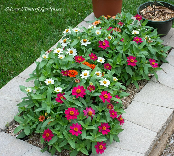 Profusion Zinnias are a dwarf zinnia variety that works well in containers or raised beds. The flowers come in a variety of colors and will bring home the butterflies.