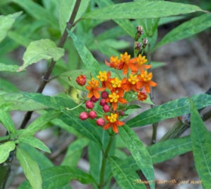 Butterfly Garden Mistakes- What's Wrong with these Tropical Milkweed Leaves