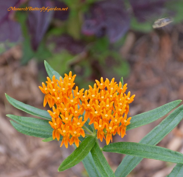 fall planting butterfly plants for next season's monarchs, Natural flower