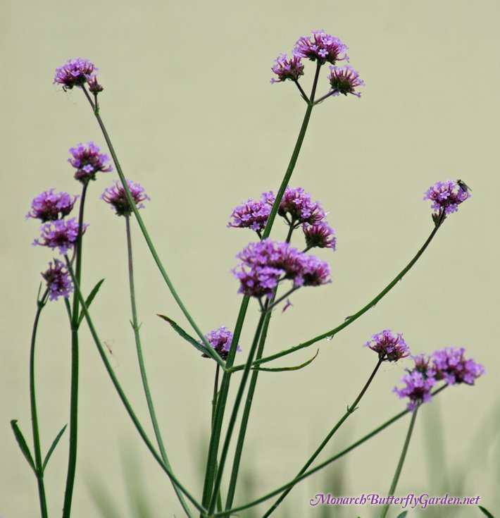 A Companion Plant Idea for ALL Milkweed Varieties? Verbena bonariensis is a tall see-through nectar flower, which means it won't block out the sun from shorter milkweed plants. It also attracts a whole slew of pollinators, including monarch butterflies...