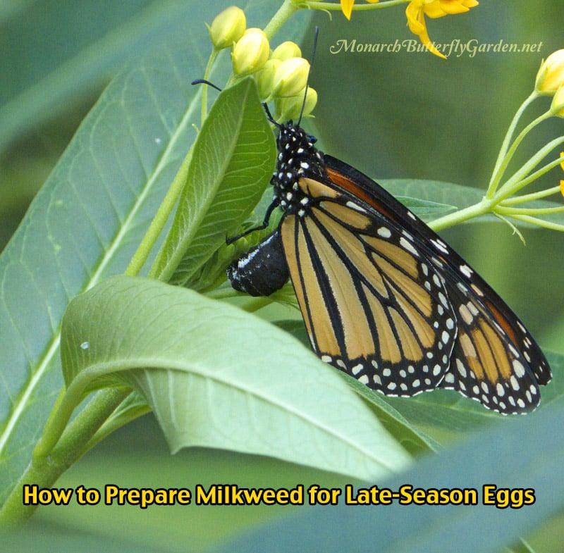 How To Prepare Late-Season Milkweed Plants for Monarch Eggs