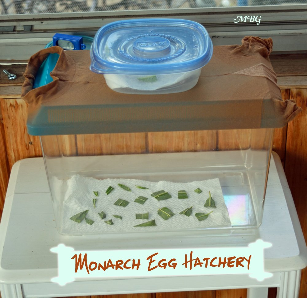 A Kritter Keeper with pantyhose over the lid is a fantastic option for a monarch egg hatchery.