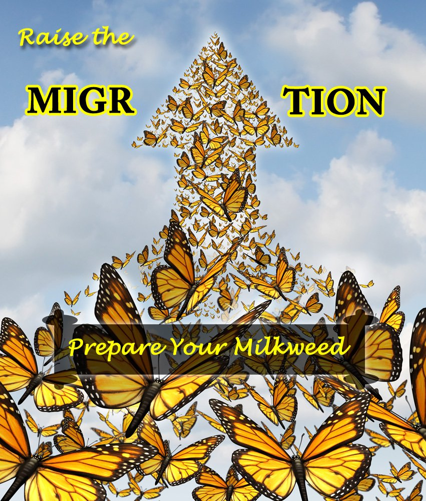 How to Prepare Milkweed for Raising Monarch Butterflies- Raise The Migration 2019