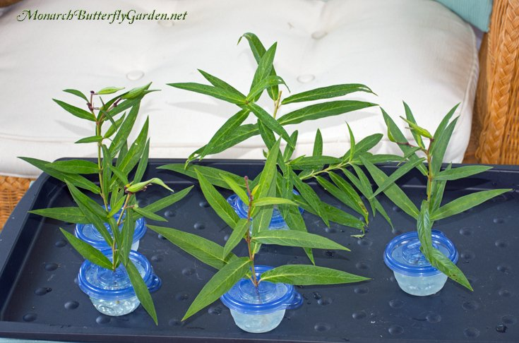 Raising Resources for Monarch Caterpillars- Small Milkweed Cuttings Containers with Flat Vase Fillers will keep Small Monarch Caterpillars Satisfied for Days...