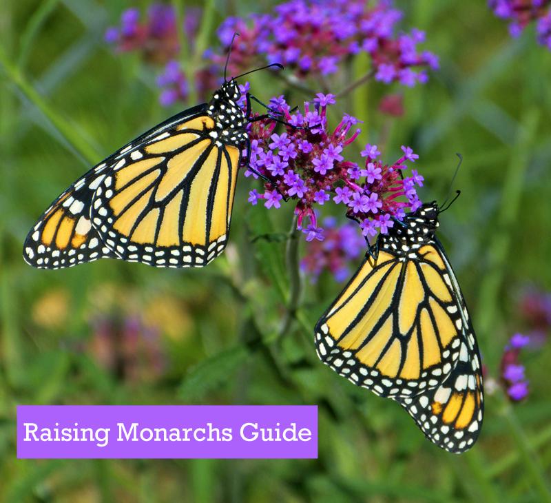 Raising Monarch Butterflies Guide