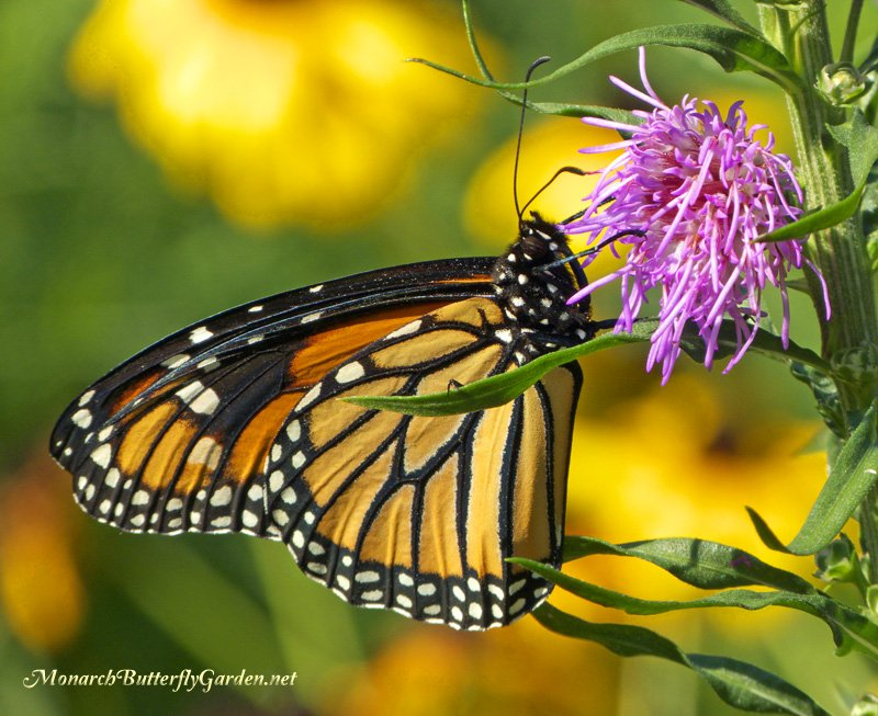 Fall Planting Liatris ligulistylis plants will bring you a bounty of butterflies the very next monarch season...