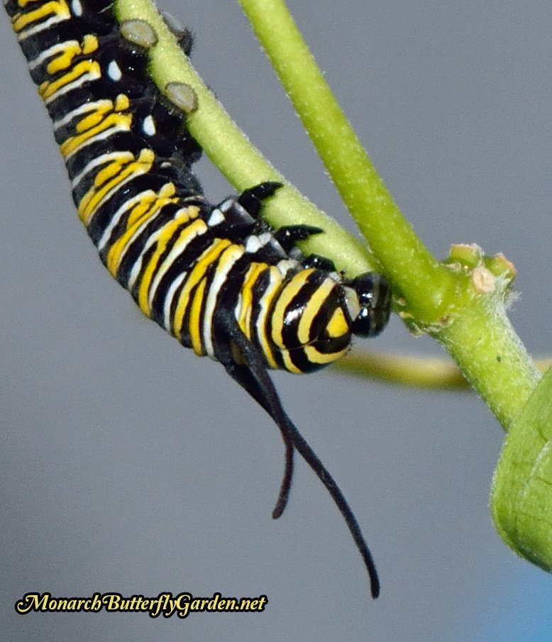 Mechanical Failure- This monarch caterpillar didn't survive because its face cap wouldn't dislodge after molting. The poor cat was unable to eat another milkweed meal.
