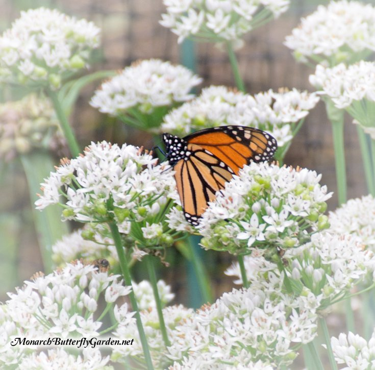 Monarch Butterfly in a field of white Allium flowers