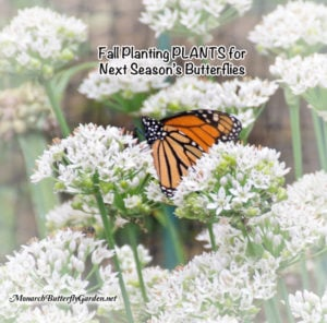 Fall Planting PLANTS for Next Season's Monarchs