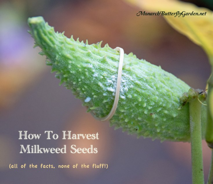 Learn how to harvest and separate milkweed seeds without making a fluffy, white mess!