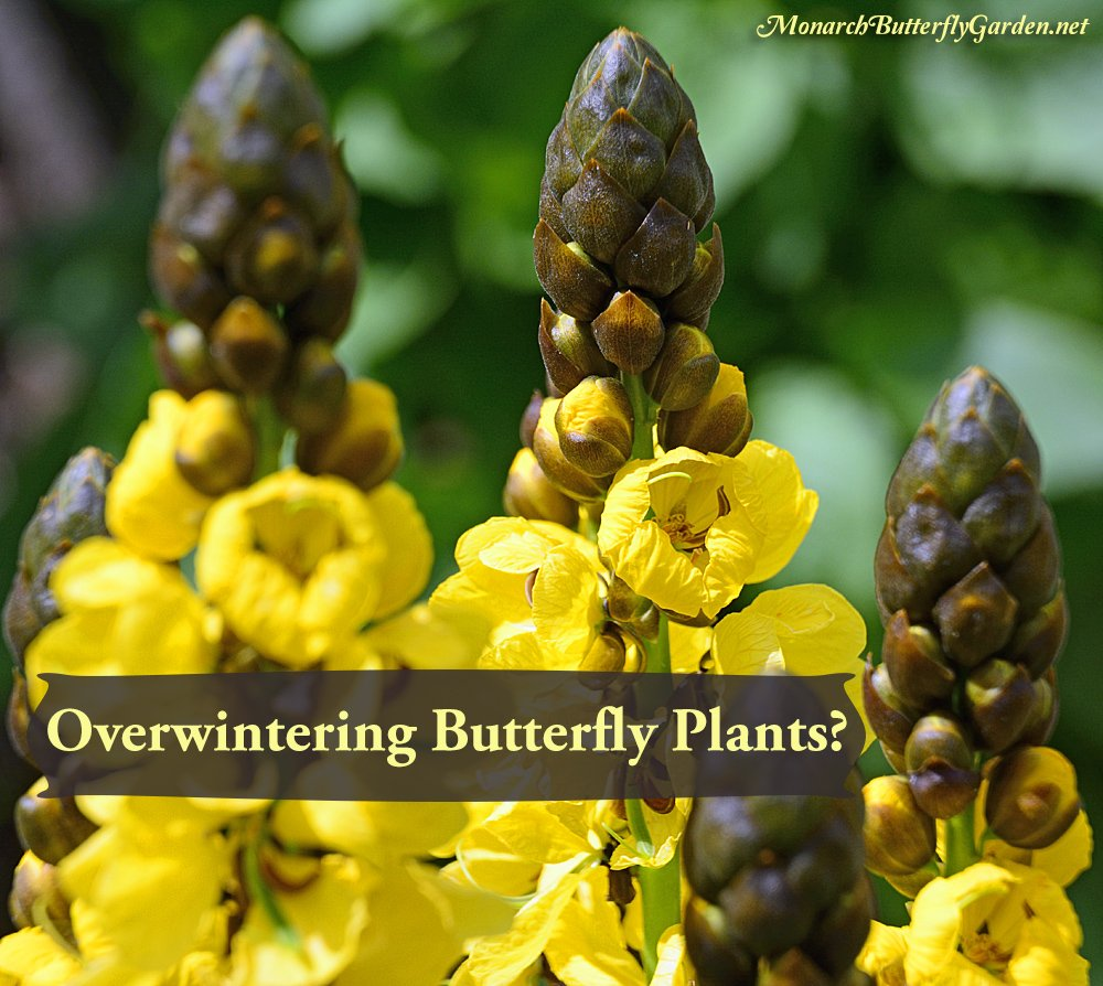 Discover which butterfly plants are worth overwintering indoors to give your butterfly garden a huge head start on next season...