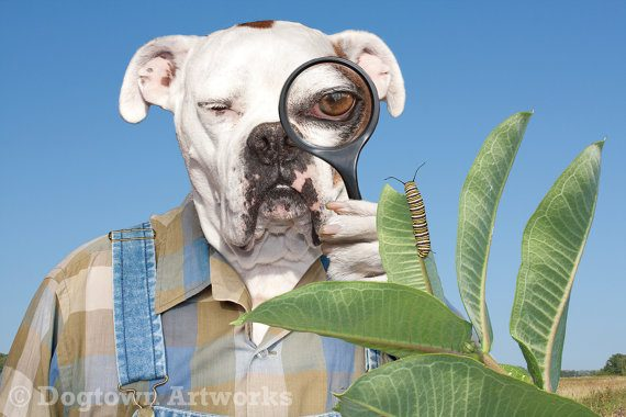 A Boxer Dog search for the elusive Monarch Caterpillar butterfly wall art- Butterfly Gift Ideas