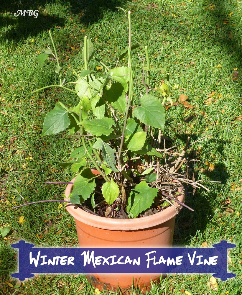 "Mexican Flame Vine can be cut back and easily overwintered indoors in annual regions. By repotting each fall, we've been able to keep our vine happy in a 12"" container for 4 years."