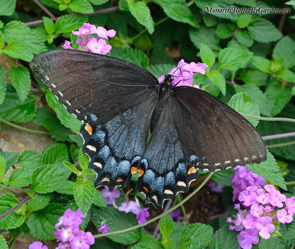 Trailing Luscious Grape Lantana has been an Eastern Tiger Swallowtail favorite in our butterfly garden. Some tiger females come in dark form to mimic the poisonous pipevine swallowtail. More butterfly on grape lantana photos...