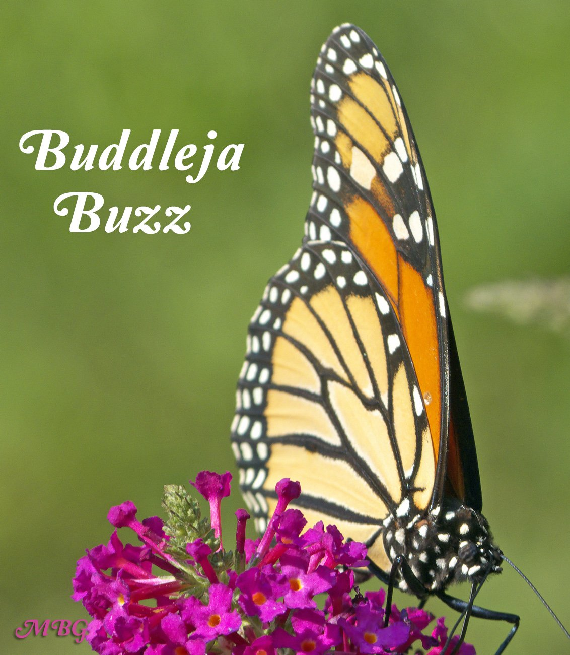What's all the buzz about? Discover why this dwarf butterfly bush variety is one of our favorite monarch butterfly garden flowers, and why it might be perfect for your pollinator garden too...