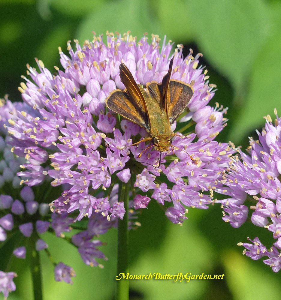Summer beauty allium is a top summer nectar source for many pollinators, including skipper butterflies. See if this ornamental allium is a good fit for your garden...