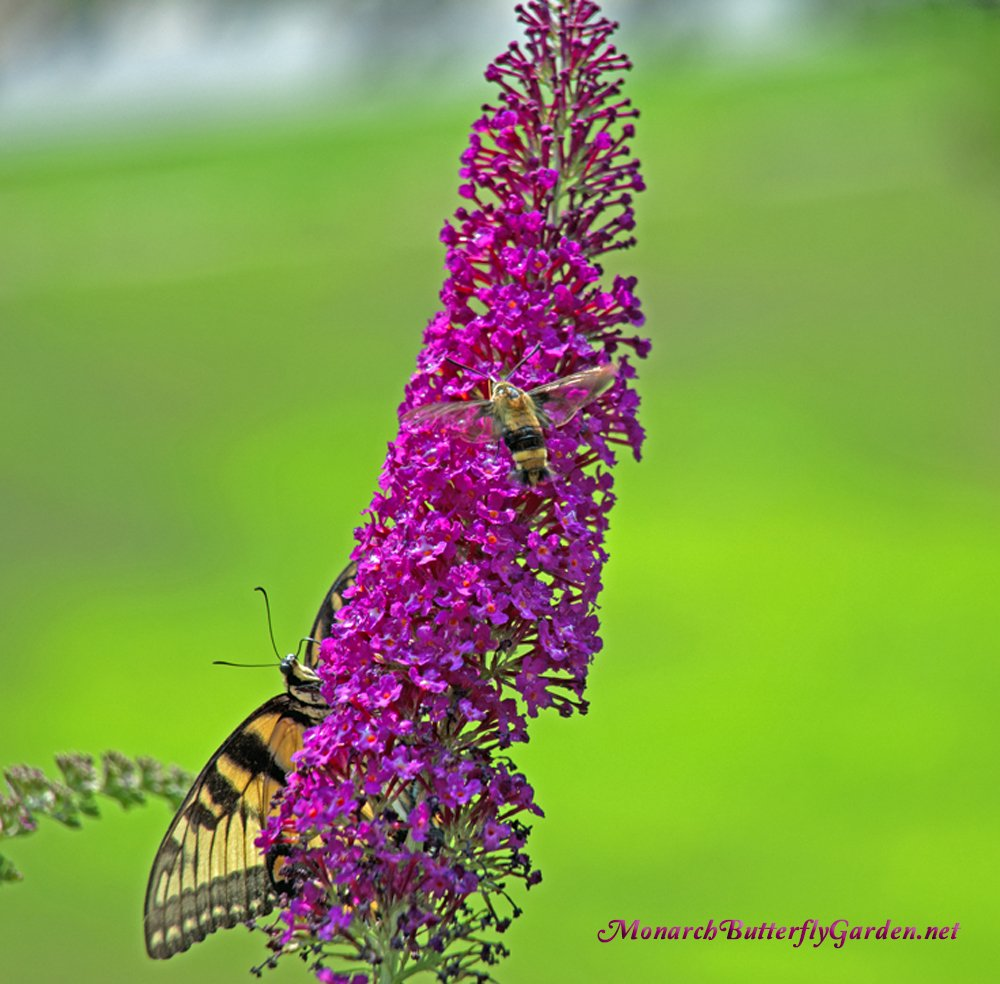 Swallowtail Butterflies and Hummingbird Moths are just two of the many pollinator visitors that might visit your garden if you plant this dwarf butterfly bush variety...