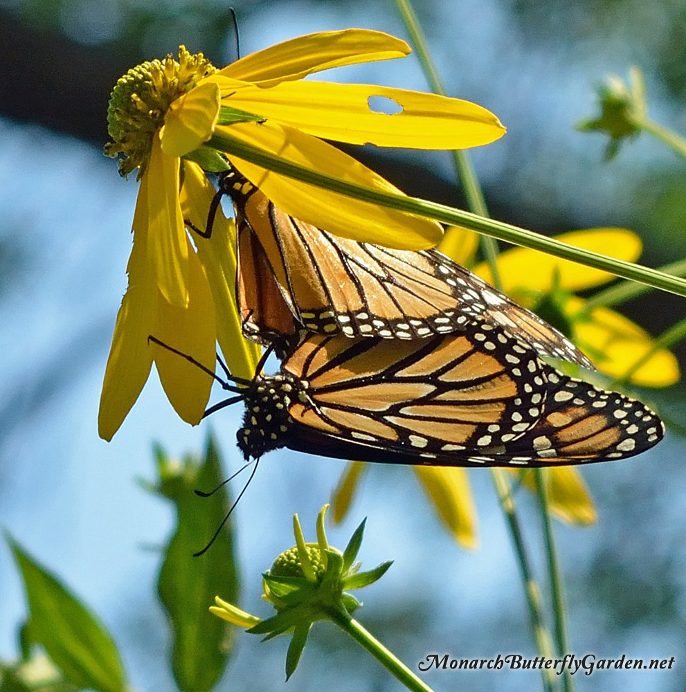 While Cutleaf Coneflowers are a great nectar source for late season pollinators, these monarchs have found an alternative use for the towering 7 foot plants. Get more coneflower info, plants, or seeds...