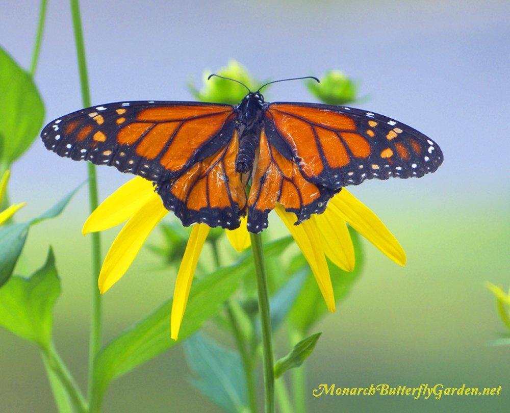A Weary Monarch Male rests on a Tall Cutleaf Coneflower before Flying off into the Wild Blue Yonder...