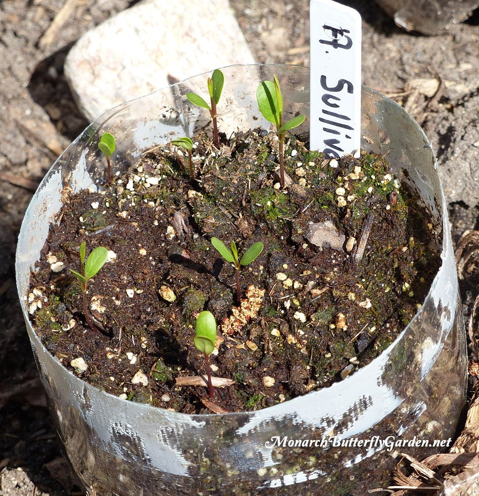 Winter sowing is a highly effective milkweed propagation technique for Prairie Milkweed Seeds. Find out more about growing Asclepias Sullivantii for your butterfly garden.