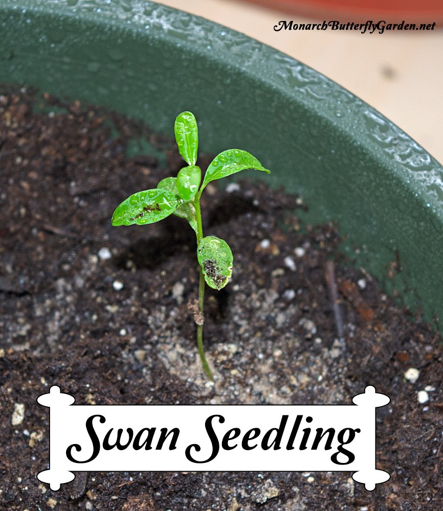 Swan milkweed is an annual milkweed for northern regions that is proving to be a valuable host plant for monarch butterflies, but only if the seeds are started early indoors. Otherwise, the plants won't grow large enough to sustain monarch life. More info on starting milkweed seeds indoors...