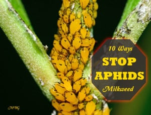 How To Control Aphids On Milkweed Plants
