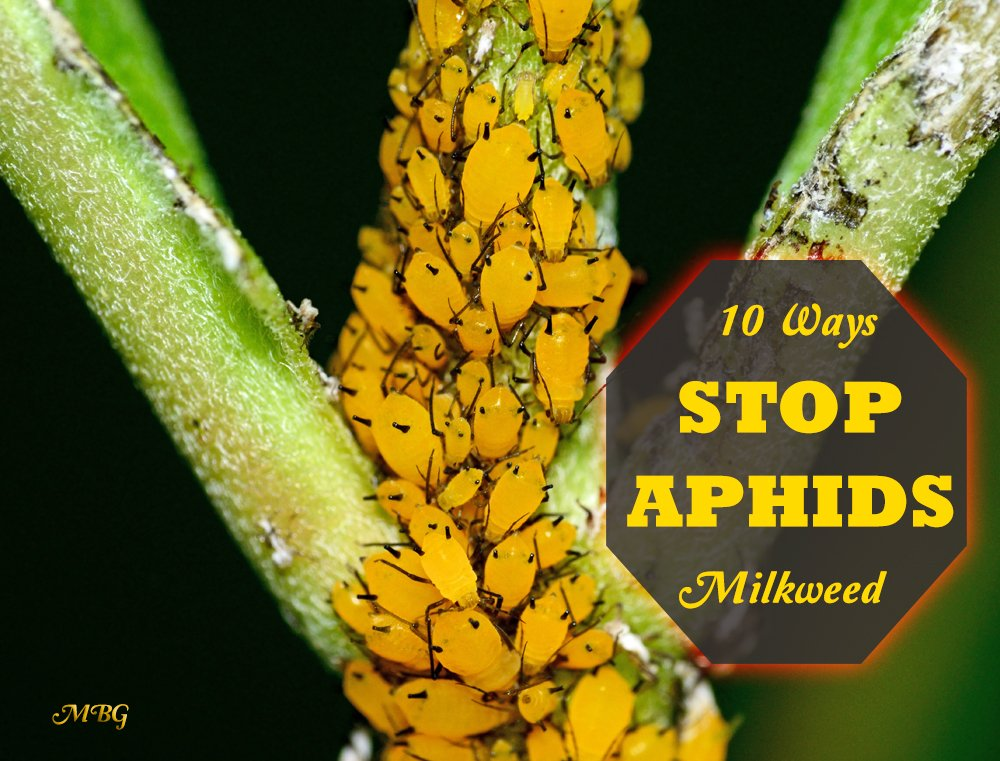 Aphid control is essential if you want to grow healthy milkweed plants for monarch butterflies. Here are 10 Ideas to control aphids naturally, and save more milkweed for munching monarch caterpillars.
