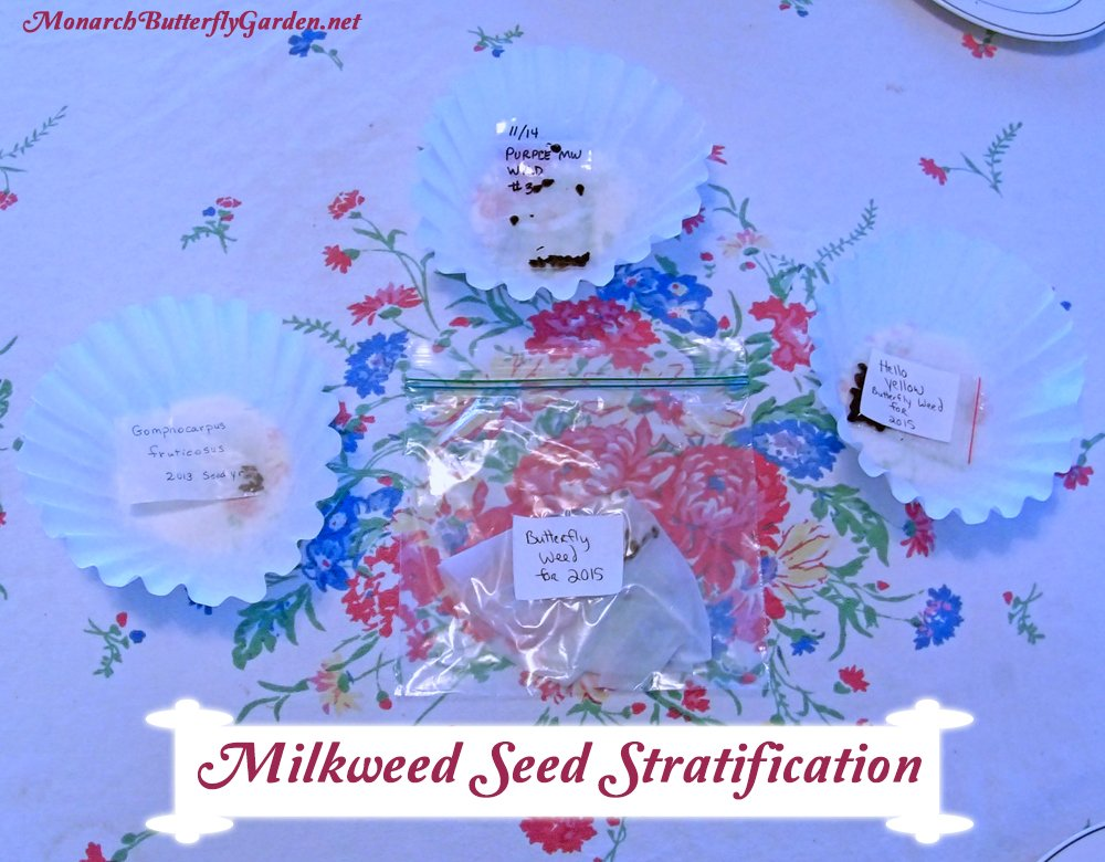 Cold Moist Stratification- a Step by Step Tutorial for Cold Stratifying Native Milkweed Seeds for a High Germination Rate