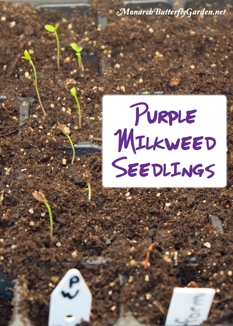 Growing Milkweed Tip- Never rely on one germination method to start all your milkweed seeds. Our purple milkweed seeds had a high germination rate with cold moist stratification, but failed miserably in our winter sowing containers.