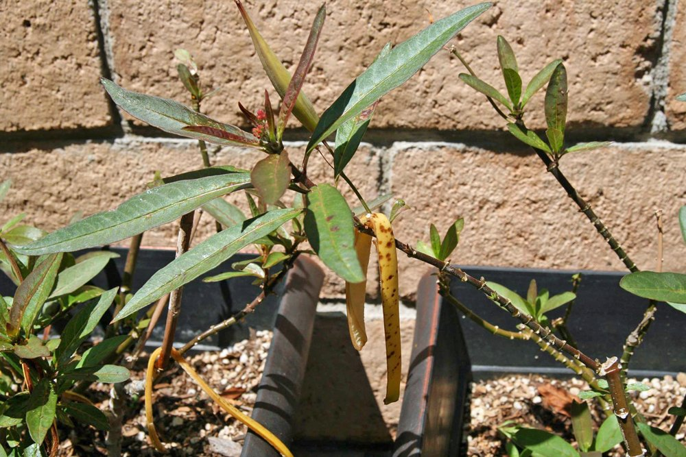 How to Stop Aphids from Taking Over Milkweed- Repel them with Banana Peels