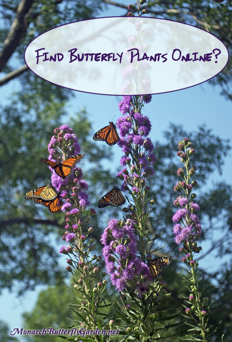 Do you ever wonder where to buy butterfly plants online? Here's the checklist I use before deciding which vendors to buy must-have milkweed and other butterfly-attracting plants from. These tips have given us all the plants we need to take our butterfly garden to new heights, and I hope they will do the same for yours...