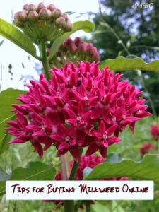 A checklist of helpful tips for purchasing milkweed plants and seeds online