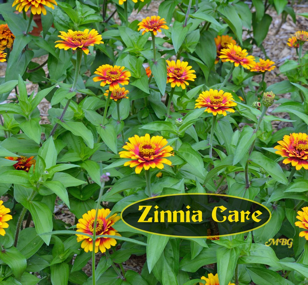 Zinnia Care and Powdery Mildew Prevention- how to keep your zinnia flowers looking their best!