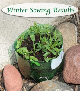 Winter Sowing Results for Native Milkweed Seeds