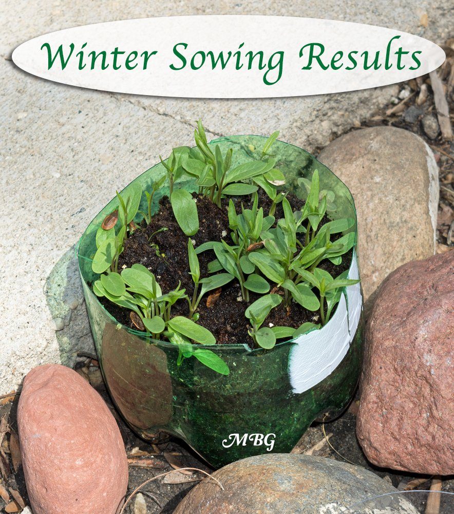 Winter Sowing Native Milkweed Seeds- choose your winter sowing containers wisely for a higher germination rate...