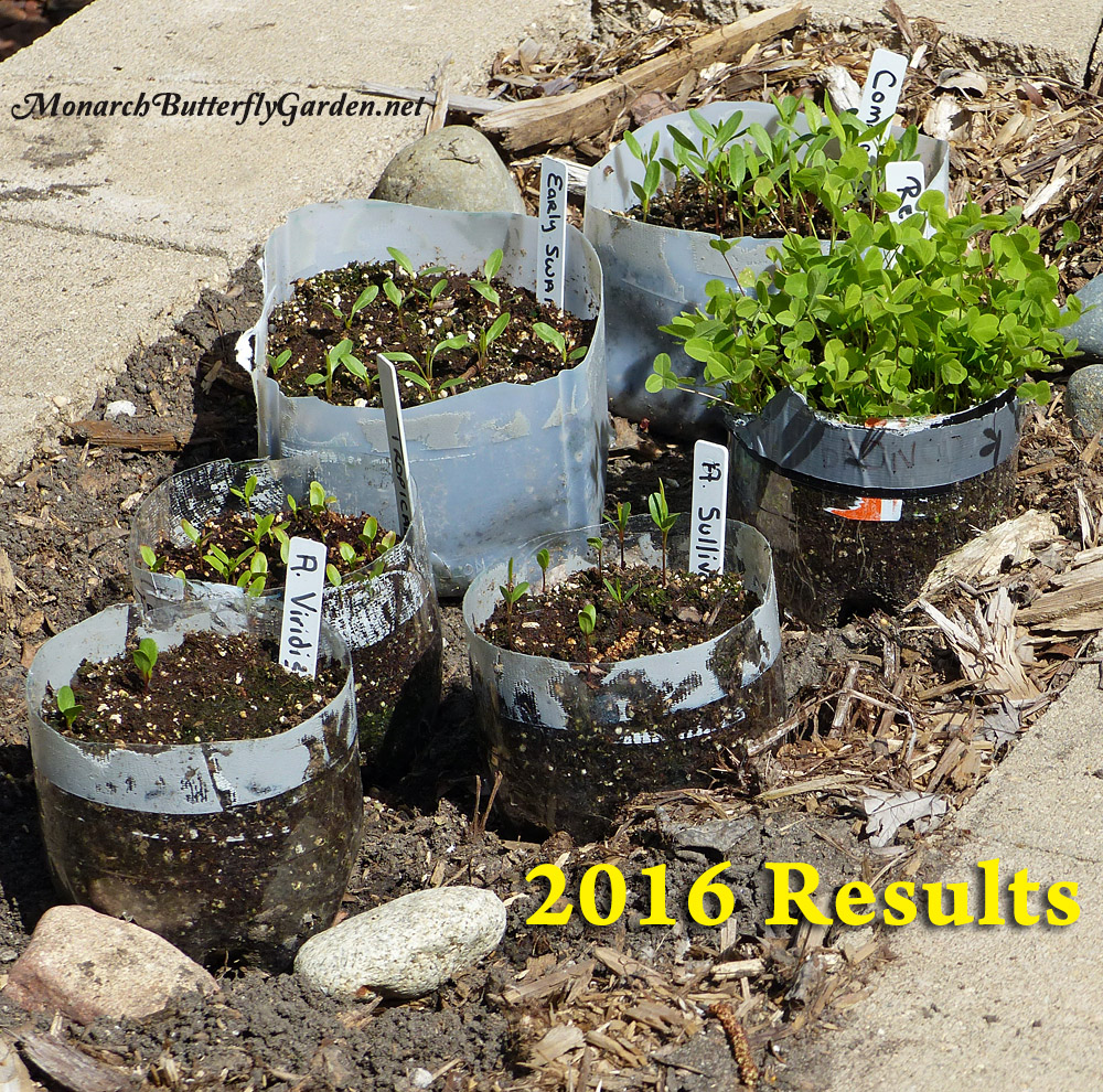 Winter Sowing Milkweed Results for 2016?
