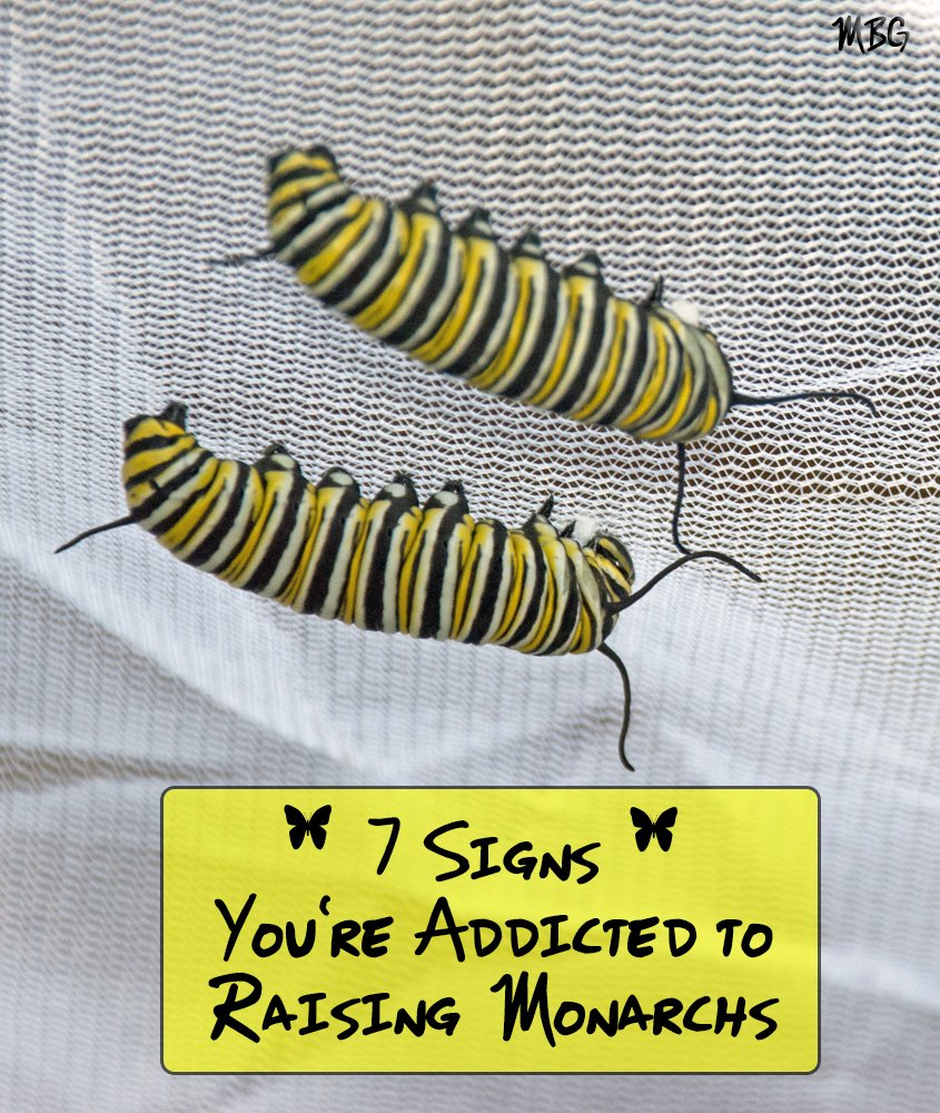 Are you Addicted to Raising Monarch Butterflies? Check the 7 signs and then see how you can get on the path to monarch recovery so raising monarchs is the amazing experience you always intended it to be......