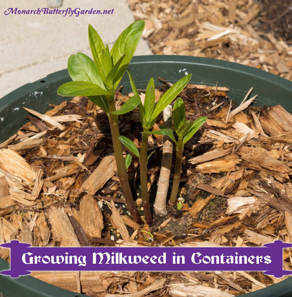 Container Gardening Ideas to Attract Monarch Butterflies- discover which milkweed species perform well in pots and learn why growing some milkweed in containers is a good idea for both you and the monarchs...
