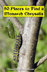 Where to look for Monarch Chrysalises in the Garden + how you can help give them more places to pupate.